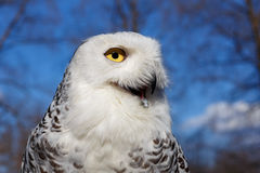 Closeup portrait of a Snowy Owl on Blue sky Stock Photography
