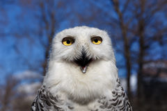 Closeup portrait of a Snowy Owl on Blue sky Royalty Free Stock Photography