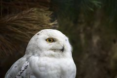 Closeup portrait of a snowy owl Bubo scandiacus bird of prey. Closeup portrait of a white snowy owl Bubo scandiacus bird of prey on a dark background Royalty Free Stock Photography