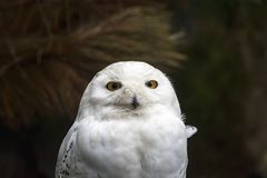 Closeup portrait of a snowy owl Bubo scandiacus bird of prey. Closeup portrait of a white snowy owl Bubo scandiacus bird of prey on a dark background Stock Image
