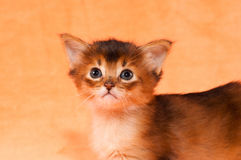 Closeup portrait of somali kitten. Closeup portrait of purebred somali kitten one month old Stock Photography