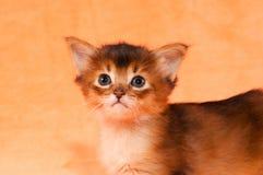 Closeup portrait of somali kitten Stock Photography