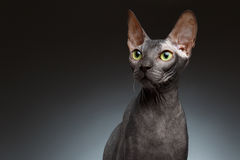 Closeup Portrait of Sphynx Cat Front view on Black Royalty Free Stock Photo