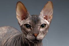 Closeup Portrait of Sphynx Cat Looking in camera on Dark Royalty Free Stock Photography