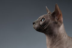 Closeup Portrait of Sphynx Cat in Profile view on Black Stock Photo