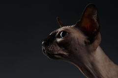 Closeup Portrait of Sphynx Cat in Profile view on Black Royalty Free Stock Image