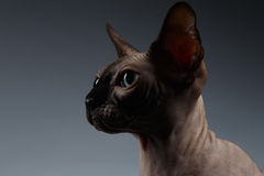 Closeup Portrait of Sphynx Cat in Profile view on Black Royalty Free Stock Photography