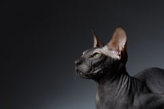 Closeup Portrait of Sphynx Cat squints Looks on Black Royalty Free Stock Photography