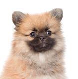 Closeup portrait spitz puppy in front. isolated on white Stock Image