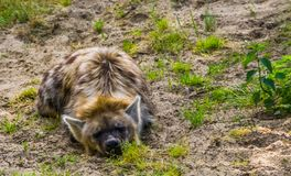 Closeup portrait of a spotted hyena laying on the ground, wild dog from the desert of Africa. A closeup portrait of a spotted hyena laying on the ground, wild stock photography