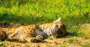 Closeup portrait of a spotted hyena sleeping on the ground, wild dog from the desert of Africa. A closeup portrait of a spotted hyena sleeping on the ground stock image