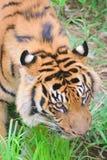 Closeup portrait of Sumatra Tiger stock photos