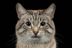 Closeup Portrait of Thai Cat isolated on Black Stock Photo