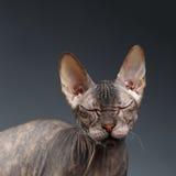 Closeup Portrait Thinking Sphynx Cat on Dark Background Royalty Free Stock Photos