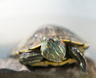 Closeup portrait of a tortoise. On brown-grey blurred background Royalty Free Stock Photos