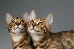Closeup Portrait of Two Bengal Kitten on Dark Background Stock Image