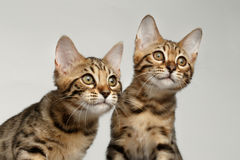 Closeup Portrait of Two Bengal Kitten on White Background Royalty Free Stock Photography