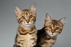 Closeup Portrait of Two Bengal Kitten on White Background Stock Photos