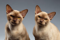Closeup portrait of Two Burma Cats on Gray Stock Photos