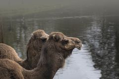 Closeup portrait of two dromedaries. Camelus dromedarius Royalty Free Stock Photos