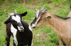 Closeup portrait of a two goats Royalty Free Stock Image
