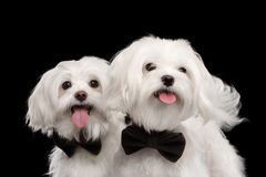 Closeup Portrait of Two Happy White Maltese Dogs isolated black Royalty Free Stock Image