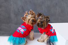 Closeup portrait of two yorkshire terrier dog in a red dress on grey background. Stock Photos