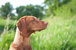Closeup Portrait of a Vizsla Dog with Wildflowers Stock Photography