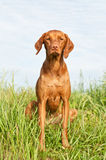 Closeup Portrait of a Vizsla Dog with Wildflowers. A closeup portrait of a Hungarian Vizsla dog with purple wildflowers and green grass in the background Royalty Free Stock Image