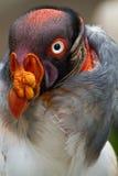 Closeup portrait of vulture in Ecuador Royalty Free Stock Photos