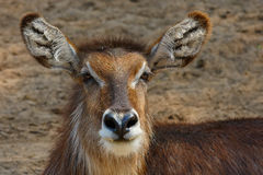 Closeup portrait of a Waterbuck Stock Images