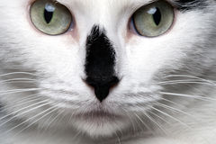 Close-up portrait white cat with black nose. And green squint eyes Royalty Free Stock Photo