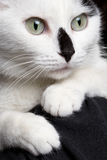 Close-up portrait white cat with black nose. On shoulders Royalty Free Stock Images