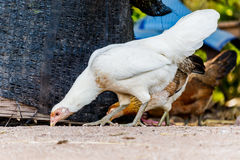 Closeup portrait of a white chicken outdoor. Royalty Free Stock Photography
