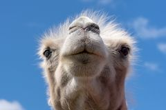 Closeup portrait of a white female camel from a low angle view. In sunshine against a blue sky Royalty Free Stock Image