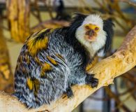 Closeup portrait of a white headed marmoset, a popular and exotic monkey from brazil, Exotic zoo animal. A closeup portrait of a white headed marmoset, a popular royalty free stock images