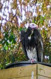 Closeup portrait of a white headed vulture a critically endangered specie from the old world of vultures. A closeup portrait of a white headed vulture a stock image