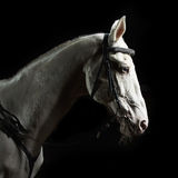Closeup portrait white horse in the dark. Bay horse stallion portrait on the black background Royalty Free Stock Photography