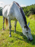 Closeup portrait of white horse Royalty Free Stock Photos