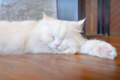 Closeup portrait of white Maine coon cat sleeping. stock images