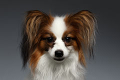 Closeup Portrait of White Papillon Dog Looking in Camera Royalty Free Stock Photos