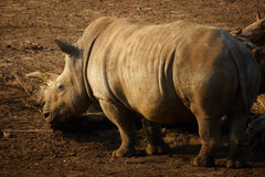 Closeup portrait of a White Rhinoceros Stock Images