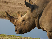 Closeup portrait of a White Rhinoceros Royalty Free Stock Photo