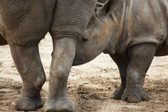 Closeup portrait of a White Rhinoceros calf Royalty Free Stock Photography