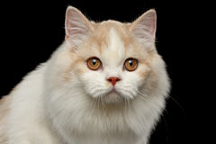 Closeup Portrait of White Scottish Highland Straight Bicolor Cat Isolated Black Stock Photo