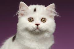 Closeup Portrait of White Scottish straight Kitten on Purple Stock Photo