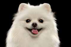 Closeup Portrait of  White Spitz Dog on Black Stock Photo