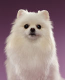 Closeup Portrait of White Spitz Dog on Colored Background Stock Photos