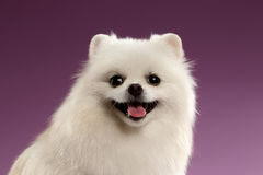Closeup Portrait of White Spitz Dog on Colored Background Royalty Free Stock Photos