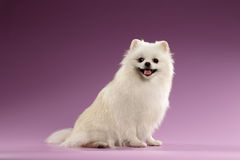 Closeup Portrait of White Spitz Dog on Colored Background Royalty Free Stock Photography
